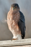 Sharp-shinned Hawk  (5759)
