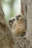 Great Horned Owlets  (6510)