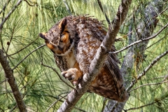 Great Horned Owl  (6581)
