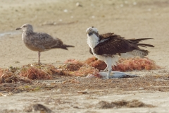 Osprey with fish  (7418)