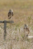 Burrowing Owls at nest site  (8901)