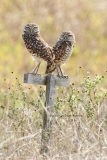 Burrowing Owls  (8970)