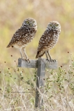 Burrowing Owls  (9038)