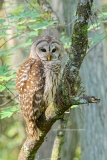 Barred Owl  #0351)