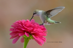 Ruby-throated Hummingbird  (0606)