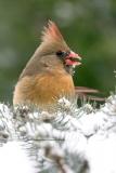 Northern Cardinal (0648)
