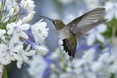 1031-Ruby-throated-Hummingbird-at-Agapanthus-WES-gallery