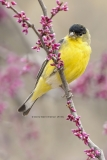 Lesser Goldfinch on Redbud  (1133)