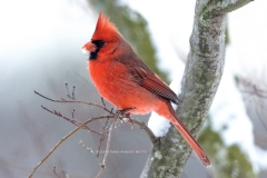 Northern Cardinal in snow  (2275)