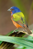 Painted Bunting  (2963)