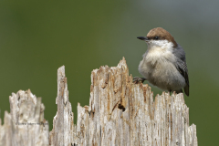 Brown-headed Nuthatch  (3307)