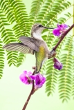 Ruby-throated Hummingbird  (4552)