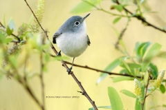 Blue Gray Gnatcatcher  (4952)