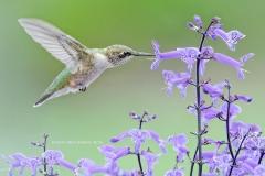 Ruby-throated Hummingbird at Mona Lavender  (5756)