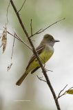 Great Crested Flycatcher  (8065)