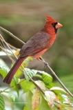 Northern Cardinal   (8237)