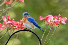 Eastern Bluebird on dogwood  (9132)