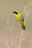 Common Yellowthroat (image #9349)