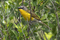 Yellow-breasted Chat  (9952)