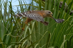Red-shouldered Hawk with Southern Black Racer snake  (#0394)
