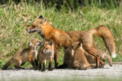 Red Fox vixen feeding her 5 kits  (#0682)