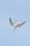 Forster's Tern playing with its food  (#0933)