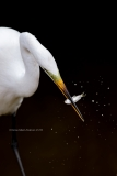 Great Egret with minnow  (#1235)