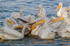 White Pelicans and Brown Pelicans  (#1758)