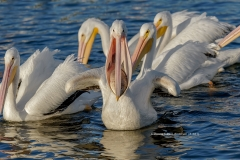 American White Pelican with fish  (#1821)