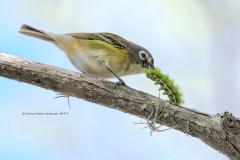 Blue-headed Vireo with Io Moth Caterpillar  (#7419)