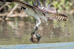 Osprey with Catfish  (#8045)