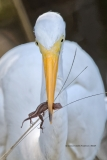 Great Egret with brown anole  (#8609)