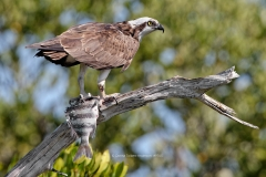 Osprey with Sheepshead Fish  (#9765)