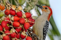 Red-bellied Woodpecker  (#9983)