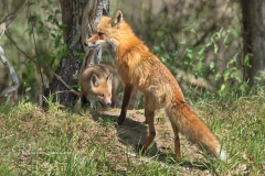 Red Fox vixen with one kit  (#0691)