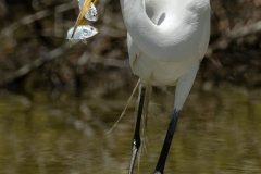 Great Egret with two fish  (#1728)