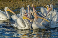 American White Pelicans with fish  (#1793)