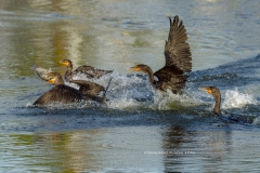 Double-crested Cormorants with fish  (#3576)