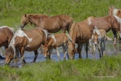 7997 Wild Ponies Mares Foals