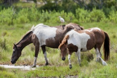 5268 Wild Ponies with Cattle Egret