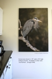 "Great Blue Heron canvas 34"" x 50"" unframed  (image #8184)"