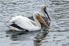 American White and Brown Pelicans  (0998)
