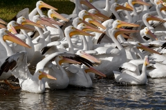 American White Pelicans  (1561)
