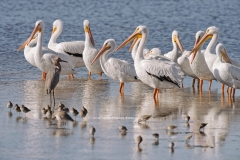 American White Pelicans on sandbar  (3506)