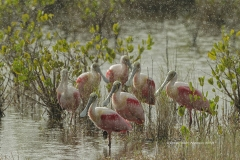 Roseate Spoonbills in afternoon shower  (0058)