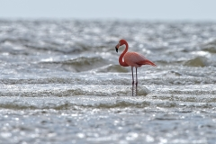 American Flamingo in Florida surf   (3855)