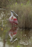 Roseate Spoonbill with reflection  (9967)