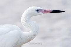 Reddish Egret White Morph  (#0592)
