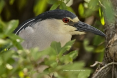 Black-crowned Night-heron  (0929)