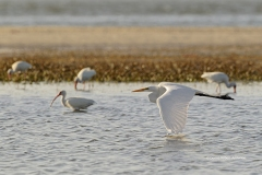 Great Egret and White Ibises low tide  (2614)